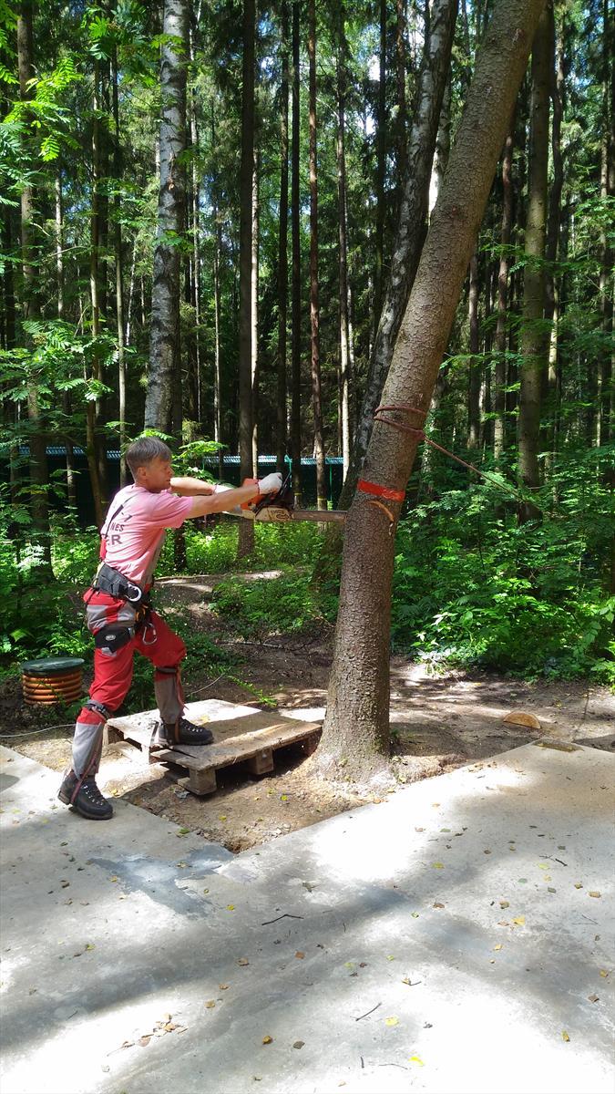 Спиливание дерева с оттяжкой