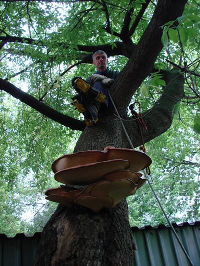 Зараженное грибами дерево